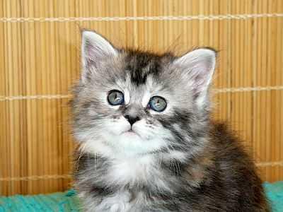 Prodám stříbrná mainská mývalí koťata f6ba49f2be